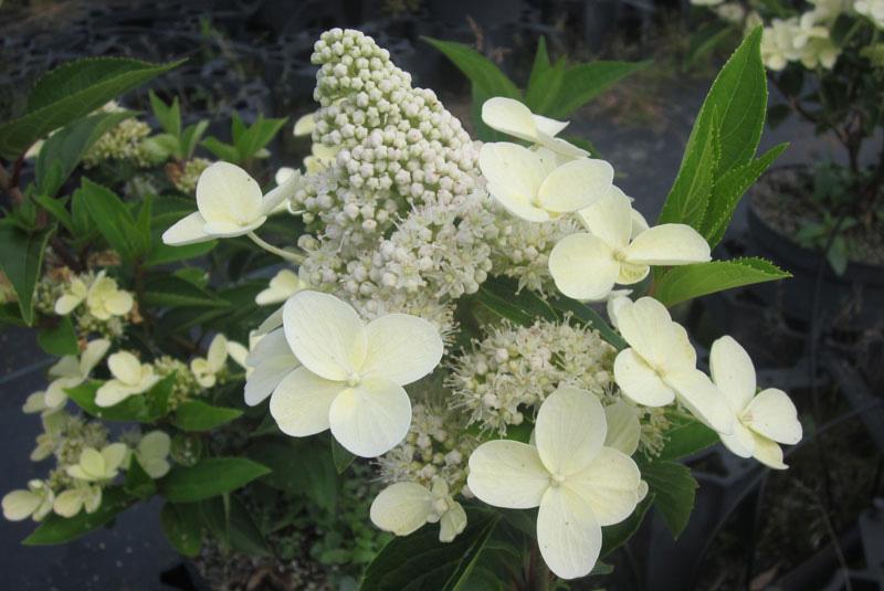 PRIM WHITE DOLPHIN